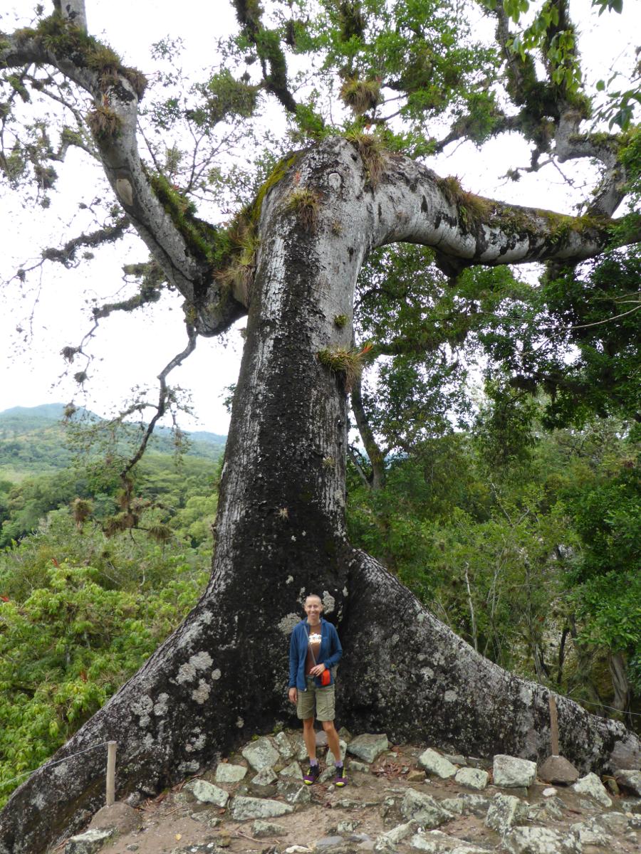 A beautiful grand old ceiba tree