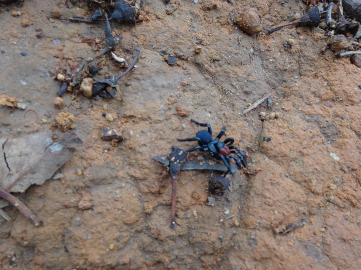 But not before we encountered three enormous mouse spiders - venomous of course!