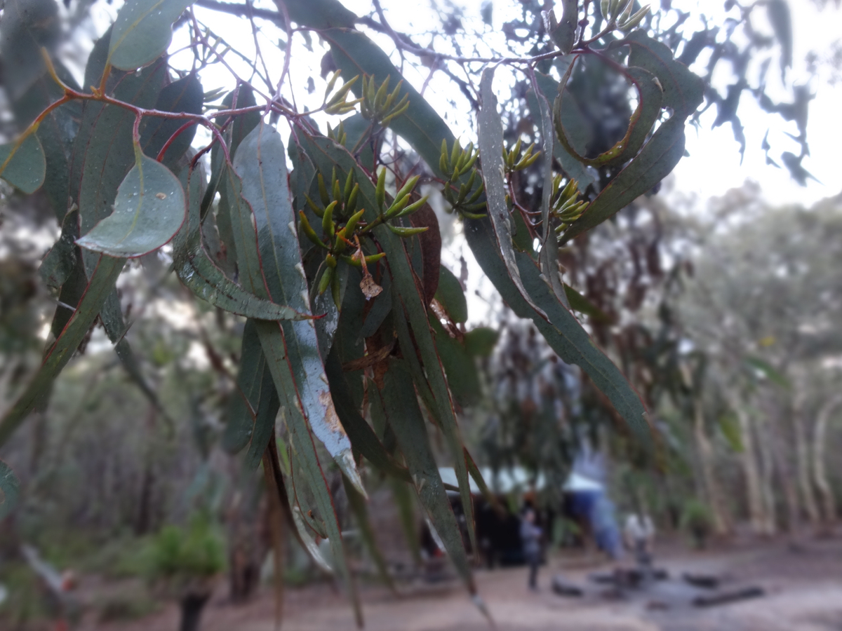 Pretty eucalyptus leaves