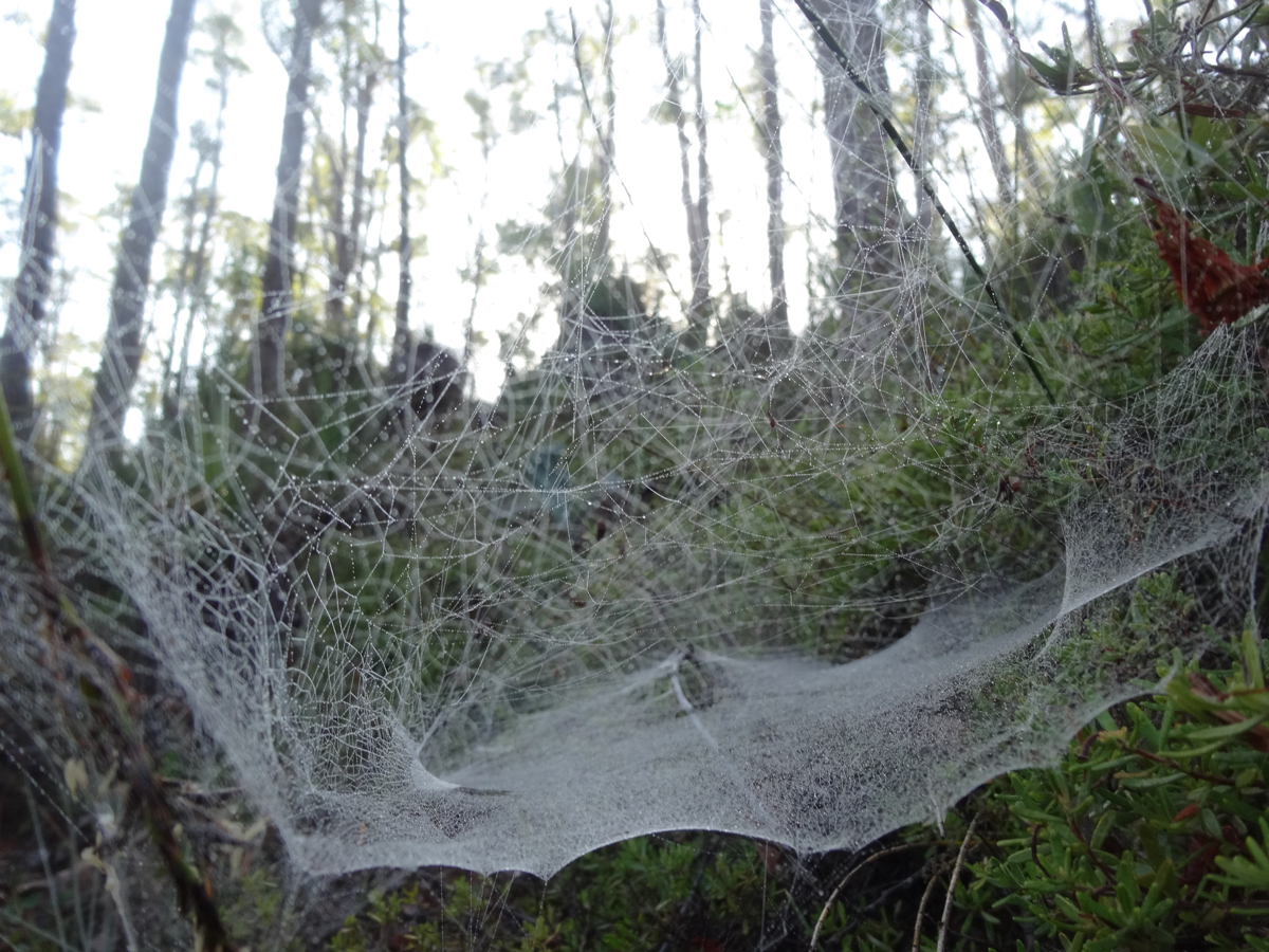 Amazing spiderwebs heavy with morning dew